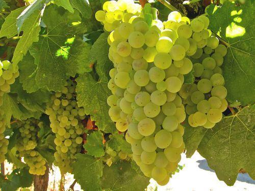 Картинки по запросу виноград шардоне
