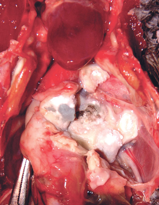 Aspergillus fumigatus granuloma exhibiting conidiophore growth in the lung and air sacs of an African grey parrot