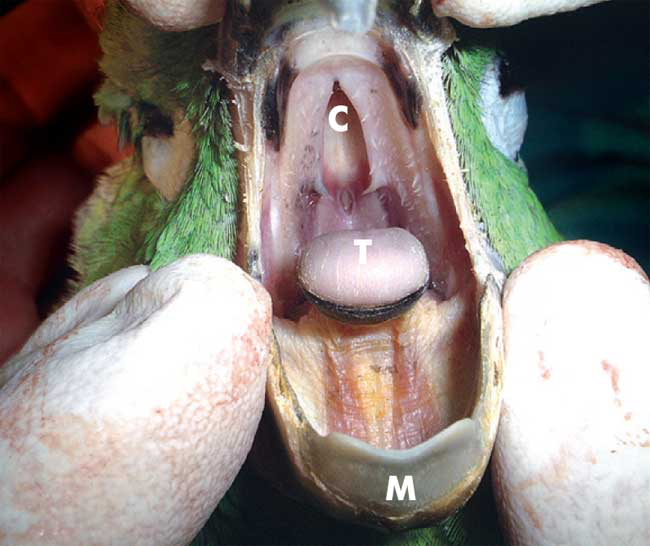 Frontal view of oropharynx of an Amazon parrot