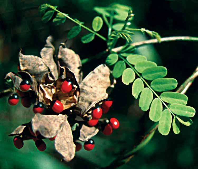 Abrus vine and seed pod.