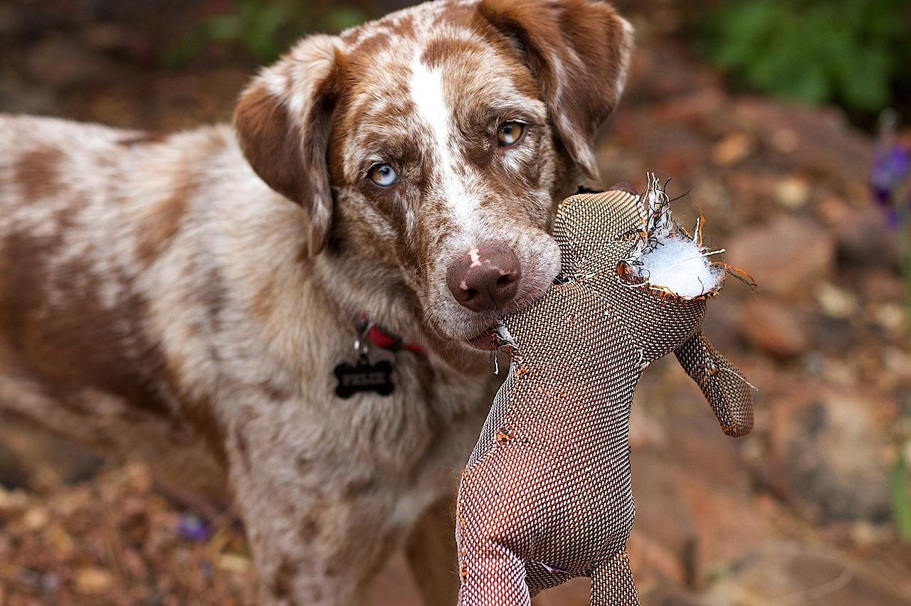 Dog biting a torn stuffed toy