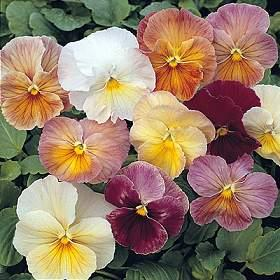 Image result for pansy imperial antique shades