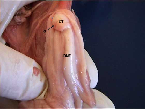 The dorsal median fold (DMF), cervical tubercle (CT), os (O) and fornix (F) in an anestrous bitch.