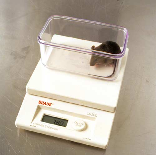 Weighing mouse.