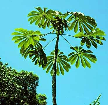 árbol de guarumo, guarumo planta medicinal, beneficios del guarumo, que es la planta del guarumo,