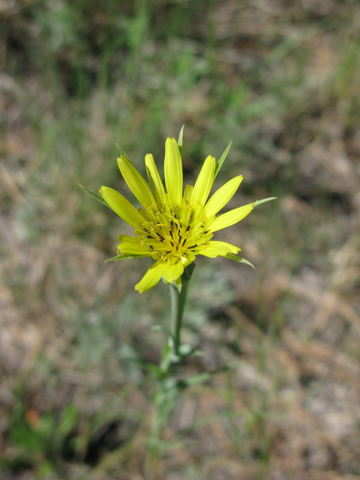 Salsify (Tragopogon dubius)