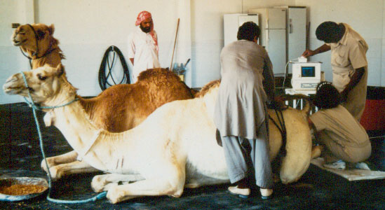 A female camel undergoing transrectal ultrasonographic examination of her ovaries.