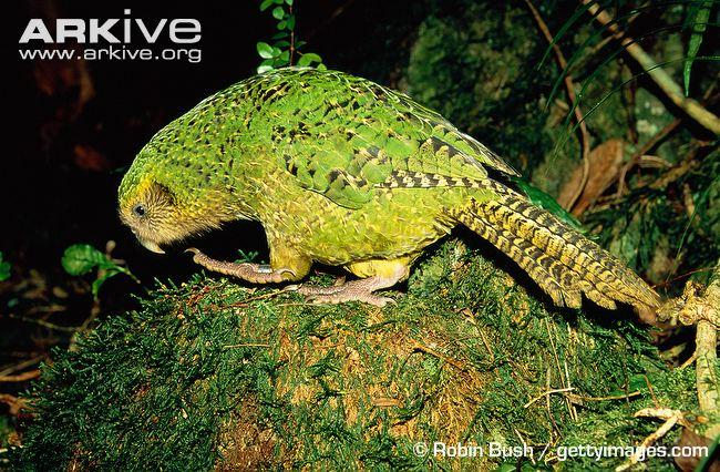 C:\Users\rwil313\Desktop\kakapo image.jpg