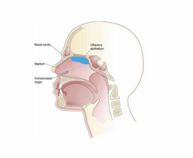 Vomeronasales Organ