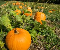 Image result for pumpkin photo growing