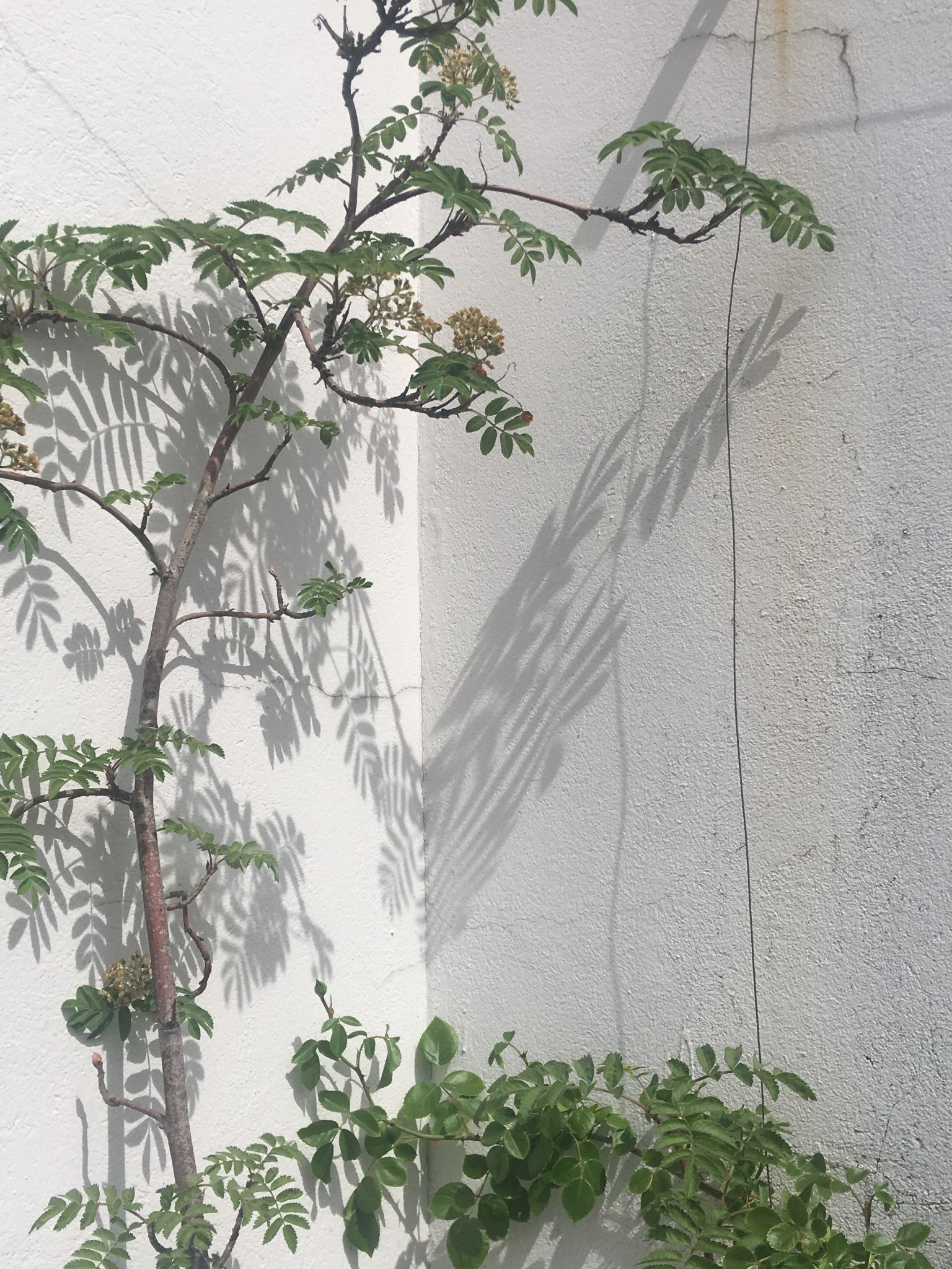 A white cement wall with cracks and wire.  A small bush and tree reflect a shadow onto the corner.