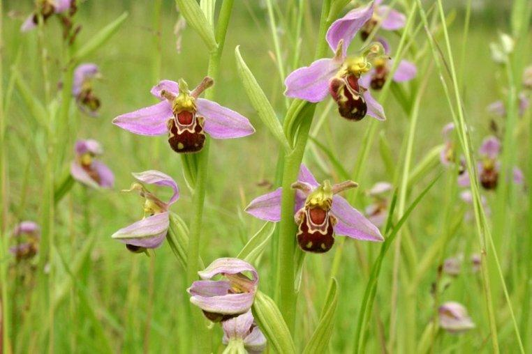 Bee Orchid Flowers
