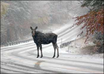 moose[1].jpg
