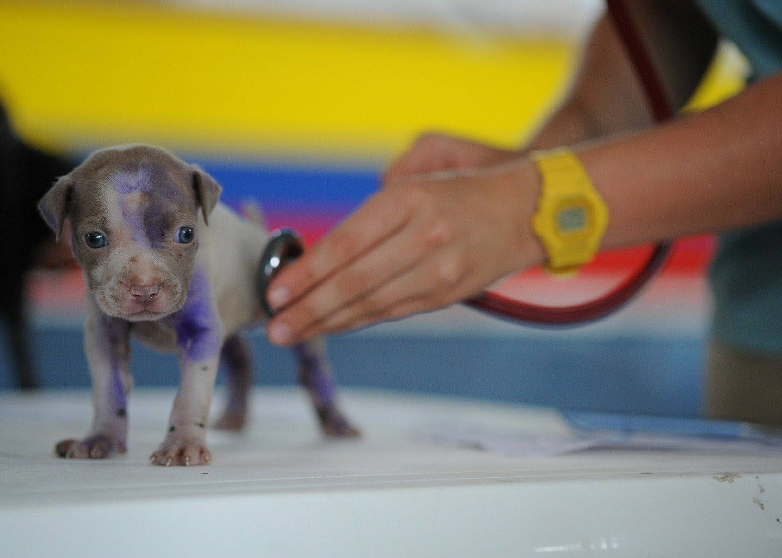 Small puppy being checked out by a veterinarian.