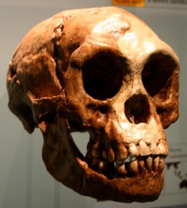 Homo_floresiensis.jpg