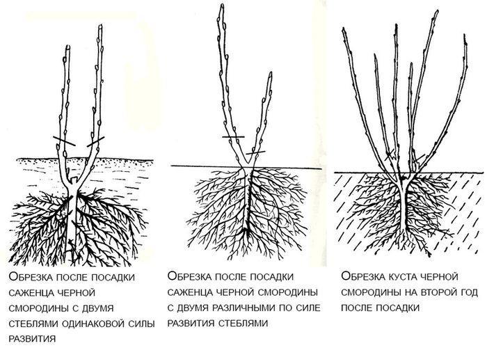 Виды обрезки смородины
