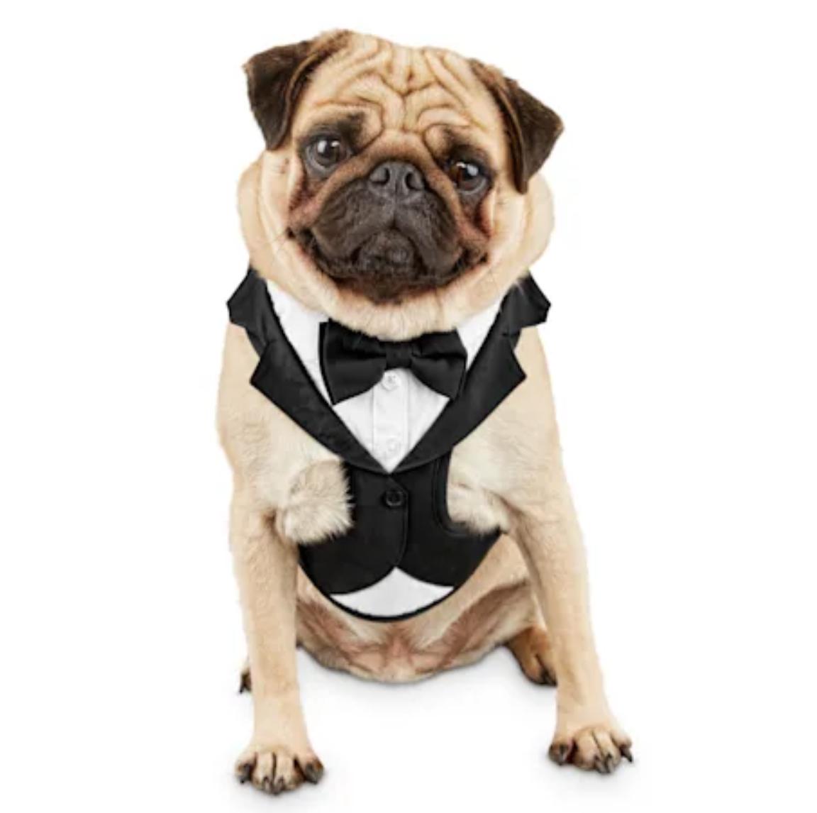 Pug wearing a tuxedo harness