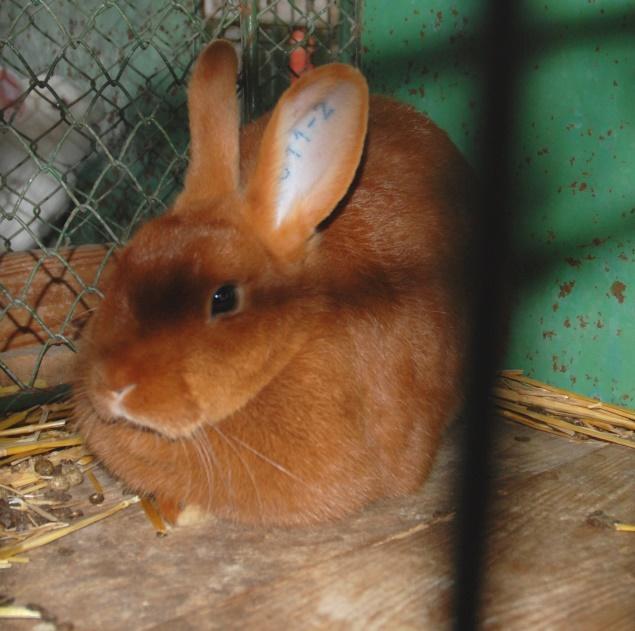 http://upload.wikimedia.org/wikipedia/commons/e/e3/Czech_Red_Rabbit.jpg