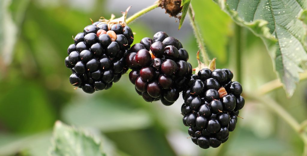 Blackberry for Keto Diet