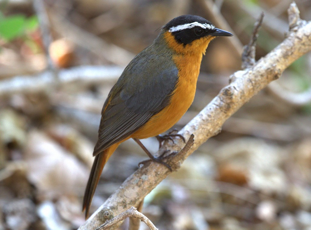 white-browded robin-chat (Copy).jpg