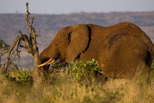 Elefante com marfins longos usando a tromba para quebrar uma árvore.