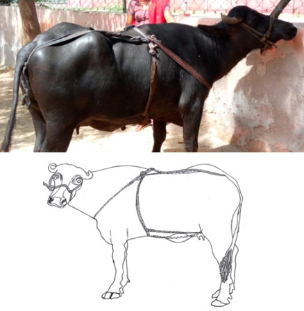 The canvas and rope truss applied to a buffalo with vaginal prolapse (line diagram of the same is shown below).