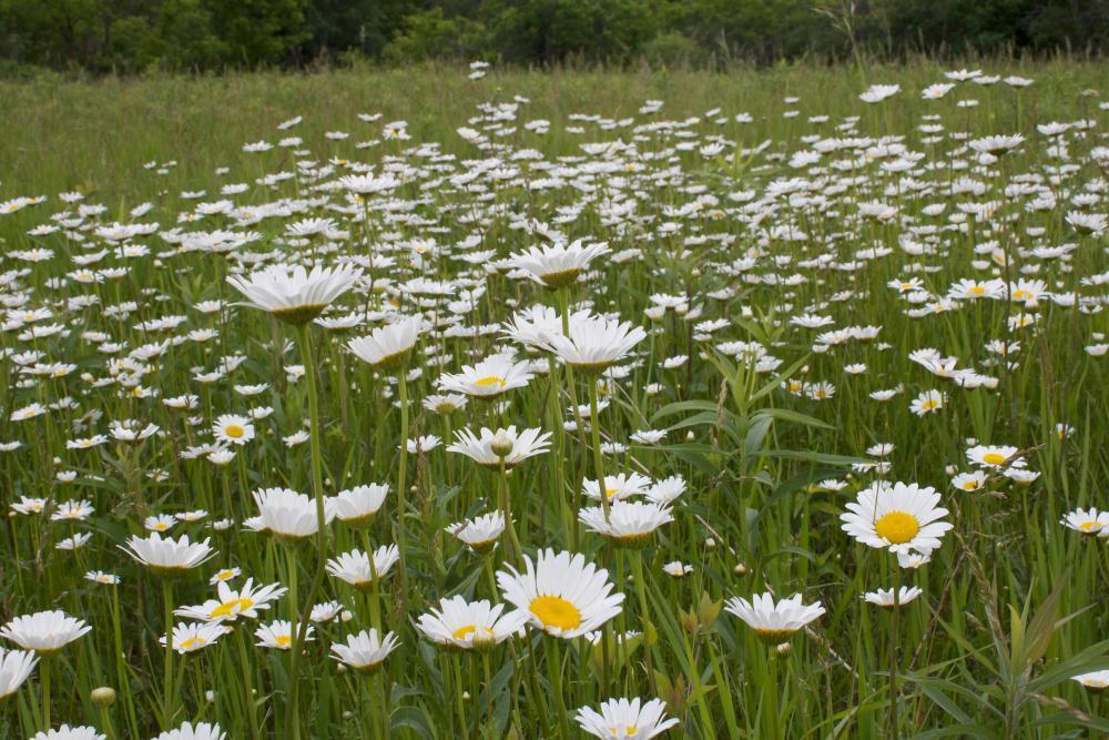 http://minneflora.com/images/identified/medium/ox-eye-daisy-chrysanthemum-leucanthemum-03.jpg