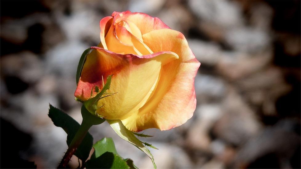 Pretty Circus Rose.jpg