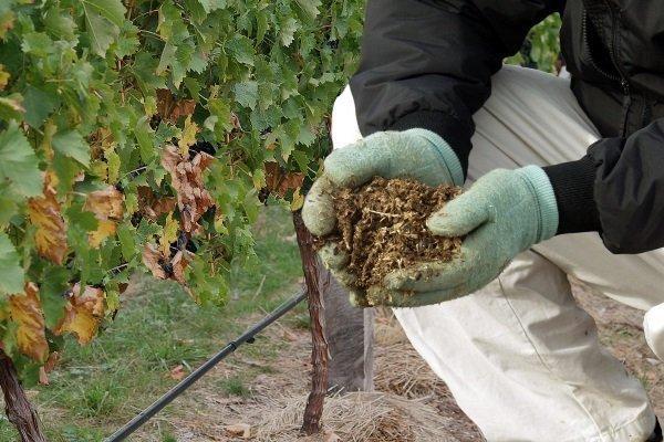 Мульчирование виноградной лозы
