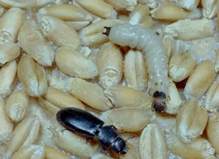 cadelle beetle (Tenebroides mauritanicus ) on wheat (Triticum spp. ) - 1234042