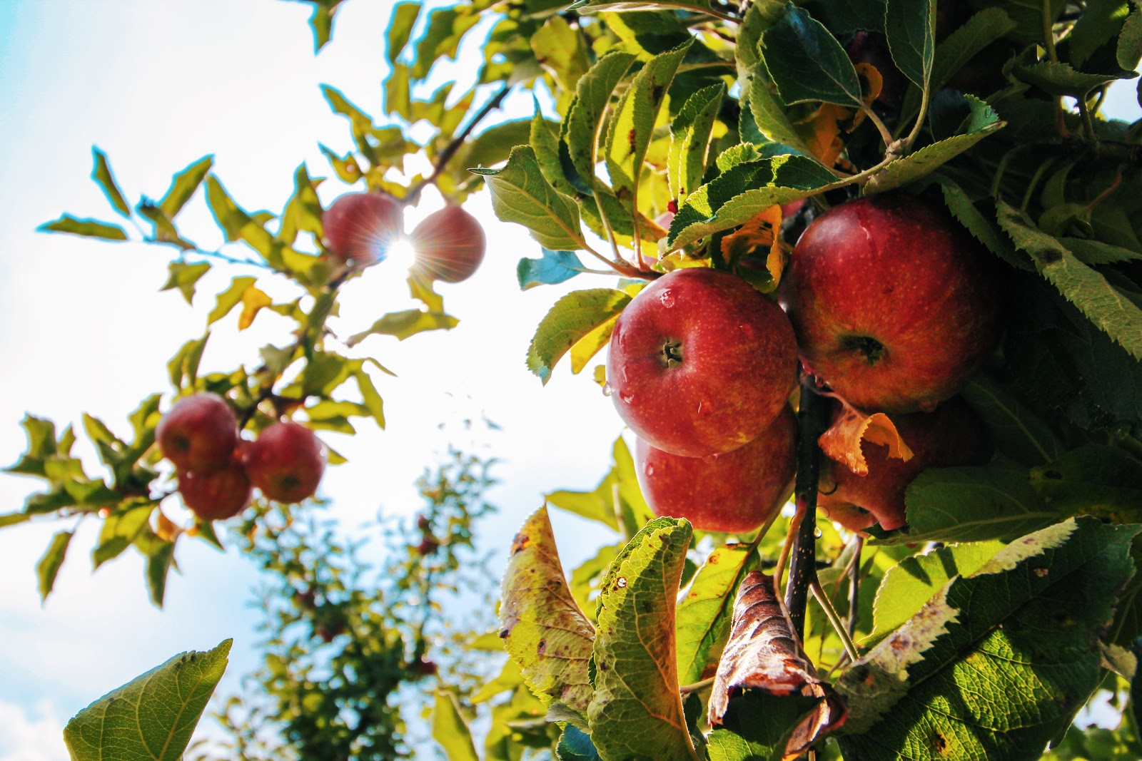 Fruit trees need fertilizer to grow colorful and flavorful fruit.
