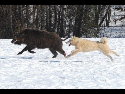 Собака на охоте на кабана