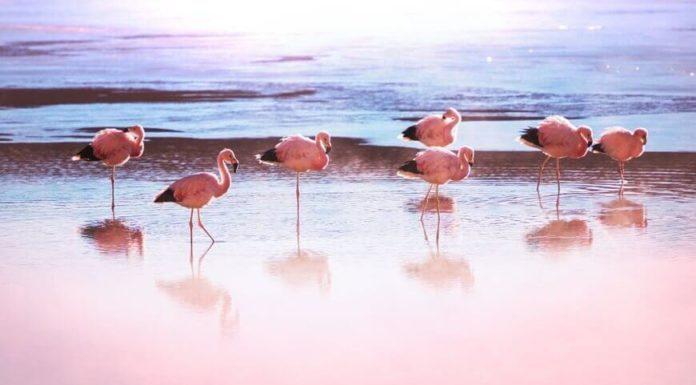 Hình ảnh đẹp như tranh vẽ của những chú hồng hạc đậu trên mặt nước