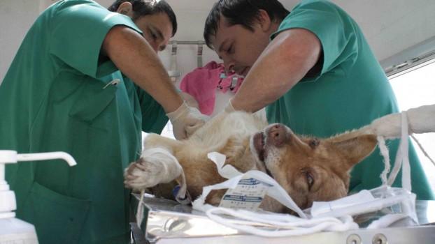Операция-стерилизации-собак-фото-622x350.jpg