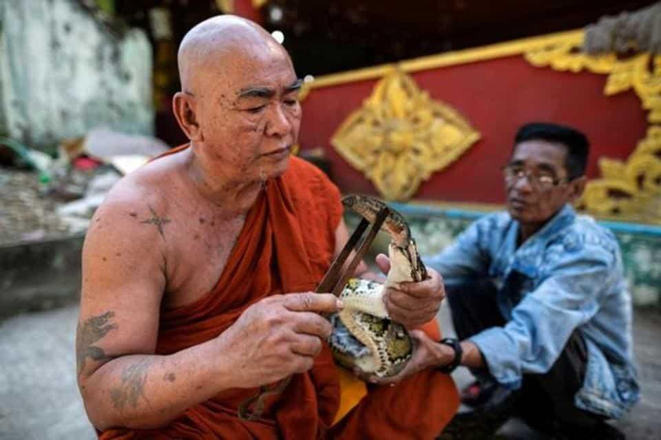 Buddhist monk Wilatha feeds a rescued Burmese python at his monastery that has turned into a snake sanctuary on the outskirts of Yangon, Myanmar.