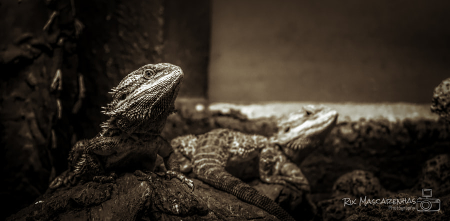 Photographic composition. Bearded Lyzard by Rix Mascarenhas on 500px.com