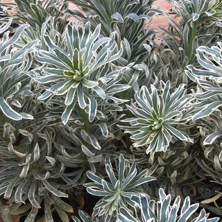 https://www.vitroflora.pl/img/produkty/rosliny/byliny-i-trawy_euphorbia-wilczomlecz_79288_1.jpg