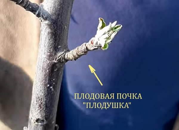 "Плодовая почка ""Плодушка"""