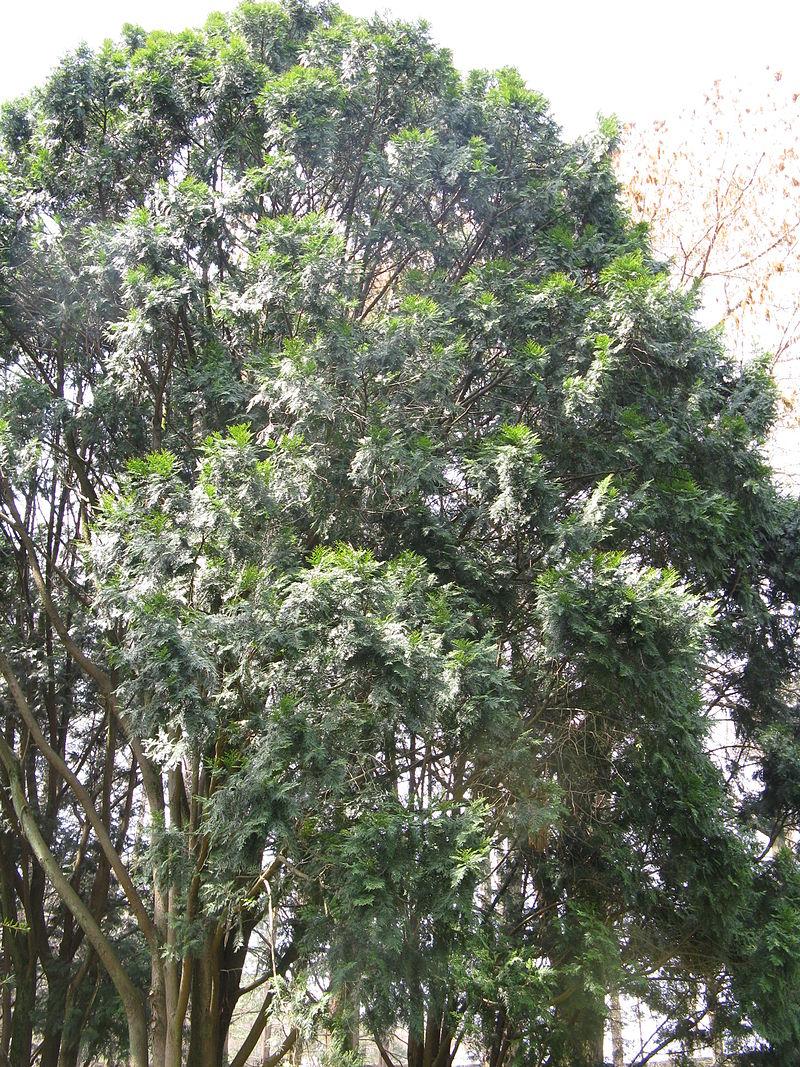 Cây gỗ Bách Xanh