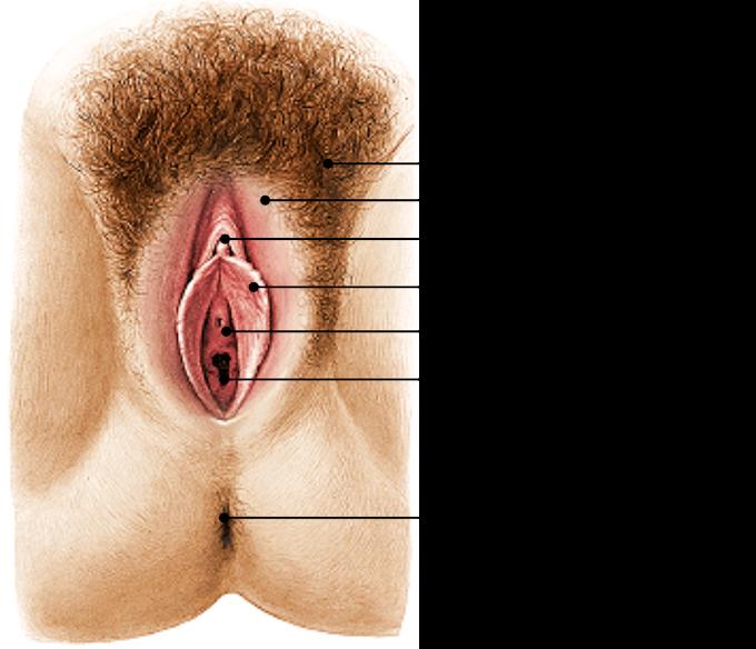Fisiologia | Sistema Reprodutor Feminino