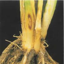 امراض نبات