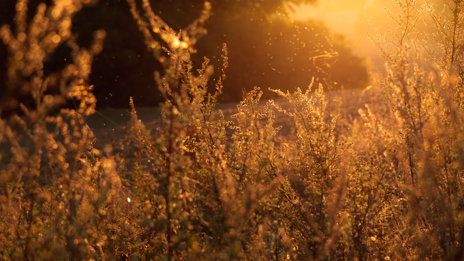 Plants that cause fall allergies at sunset