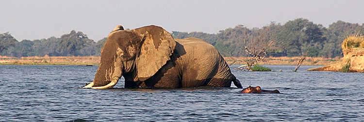 Elephant-swimming-hippo.JPG