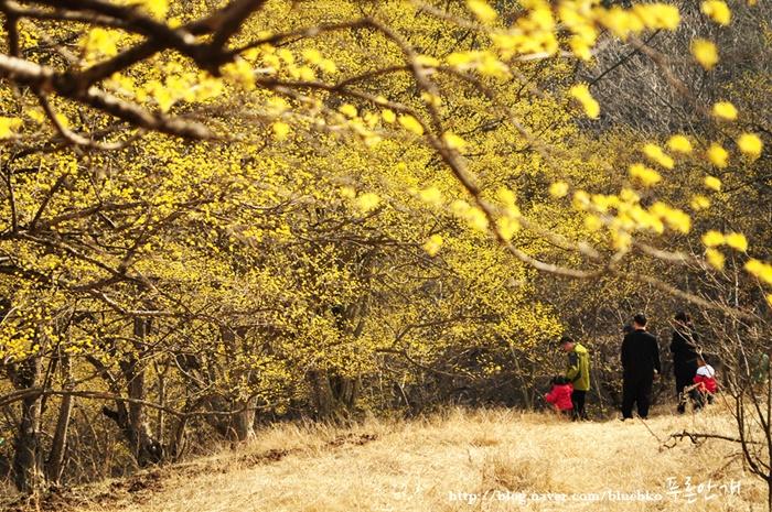 Các loài hoa mùa xuân Hàn Quốc đốn lòng khách du lịch
