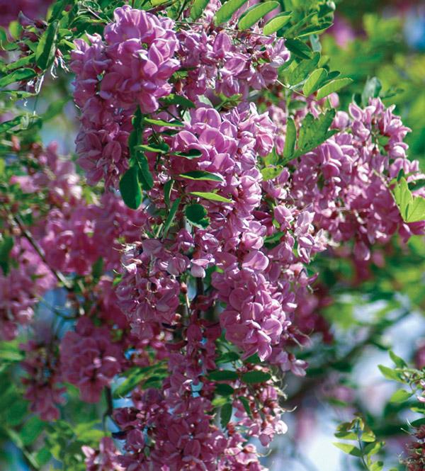 "Robinia ""Idaho"" flowers."