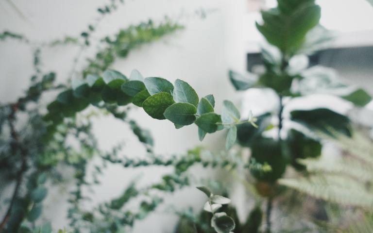 尤加利樹 是澳洲木本植物中最具代表性的樹種