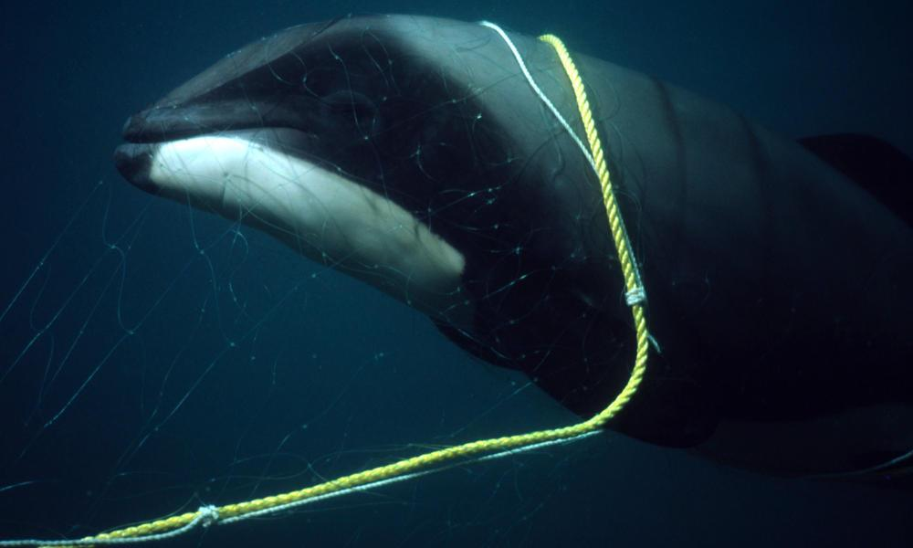 C:\Users\rwil313\Desktop\Hectors dolphin trapped.jpg