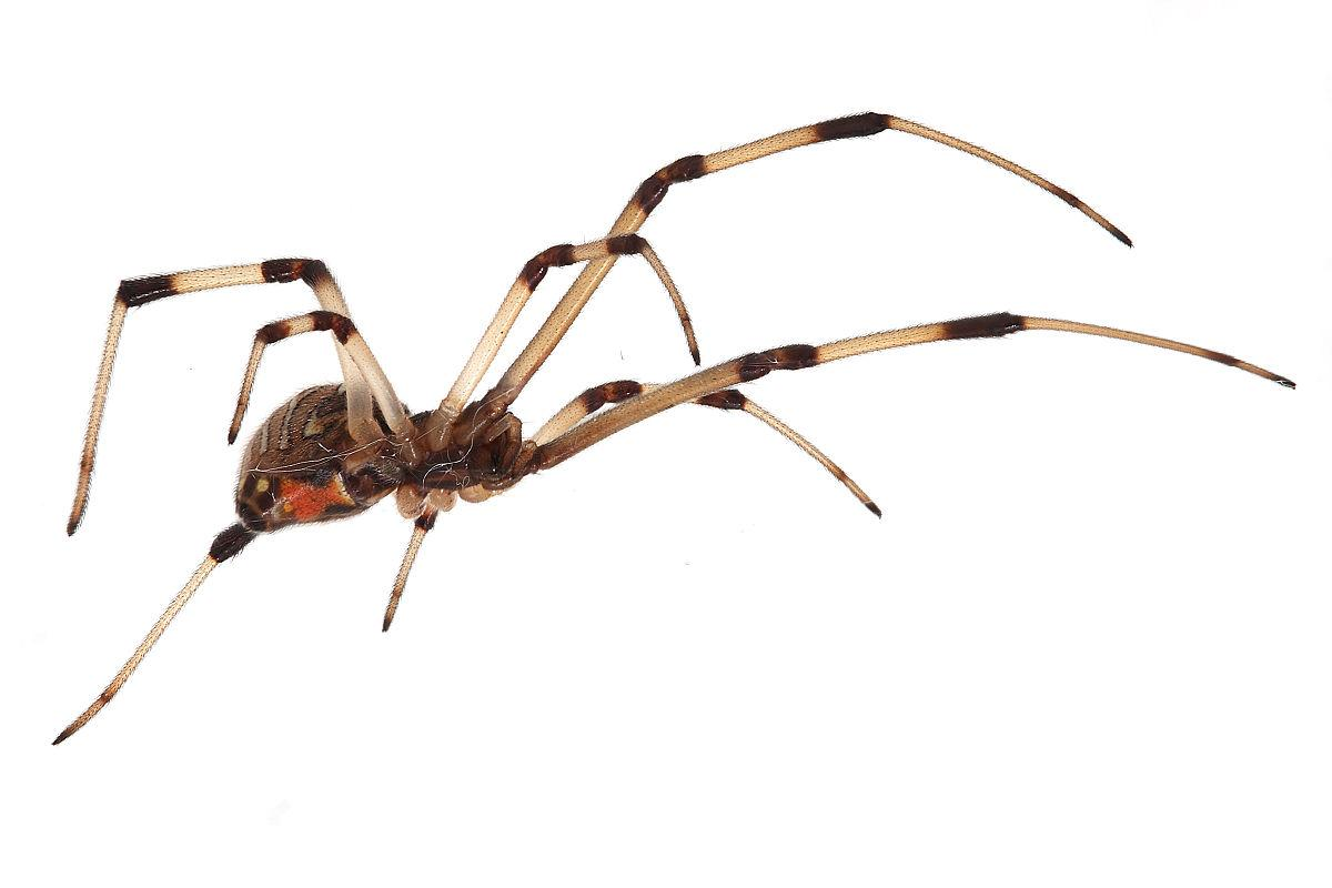 Image result for brown widow spider