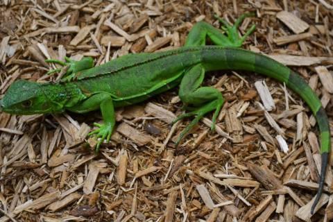 Image result for green iguanas size