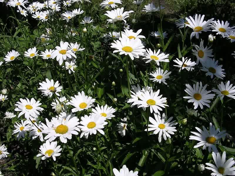 diasies in garden